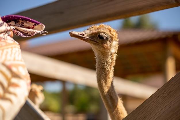 Soft focus van een struisvogel op een boerderij op een zonnige dag