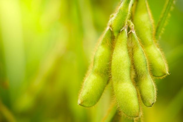 Sojabonenpeulen op de boom en de groene aardachtergrond.