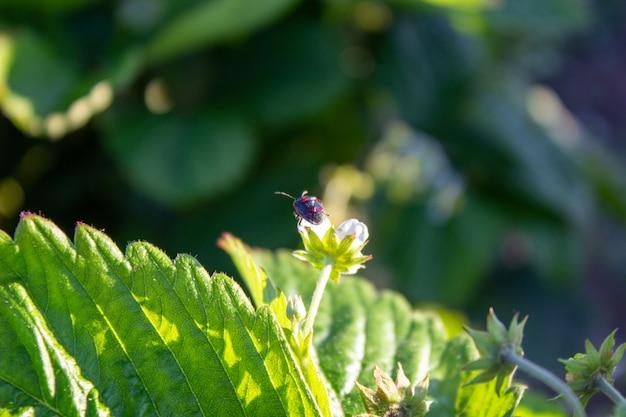 Soldier beetle die een blad beklimt