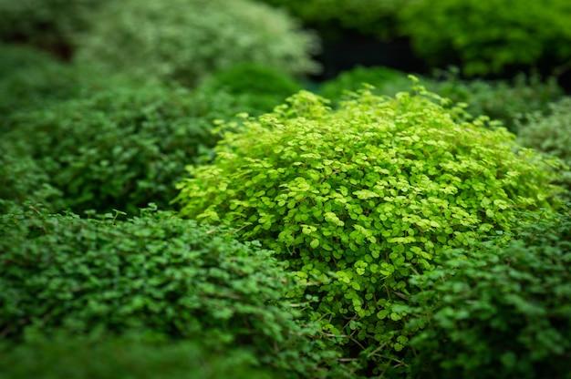 Soleyroliya - een mooie kruidachtige vaste plant met kleine bladeren aan lange scheuten. soleirolia soleirolii groene planten in bloempot verkopen in winkel. tuinieren in serre. botanische tuin