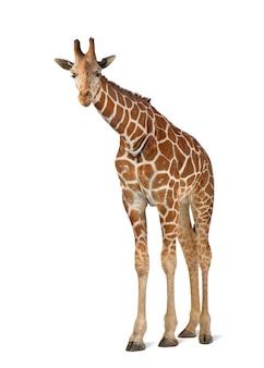Somalische giraf, algemeen bekend als netgiraf, giraffa camelopardalis reticulata, 2 en een half jaar oud die tegen een wit oppervlak staat