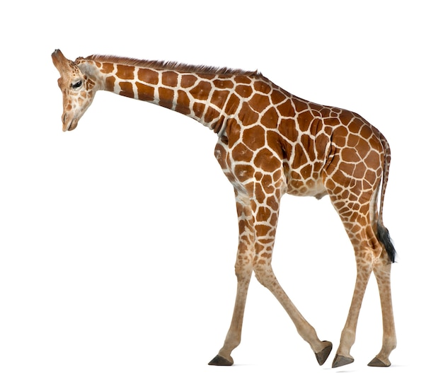 Somalische giraf, algemeen bekend als netgiraf, giraffa camelopardalis reticulata, 2 en een half jaar oud die tegen witte ruimte loopt