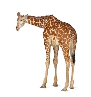Somalische giraf, algemeen bekend als netgiraf, giraffa camelopardalis reticulata, 2 en een half jaar oud staande tegen witte ruimte