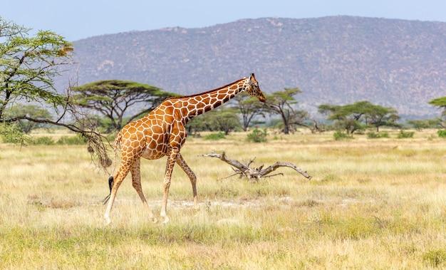 Somalische giraf gaat over een groene, weelderige weide