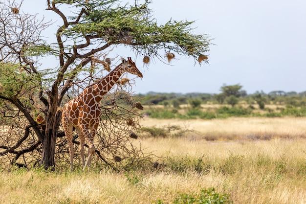 Somalische giraffen eten de bladeren van acaciabomen