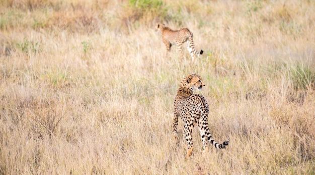 Sommige cheeta's rennen in de savanne in het hoge gras