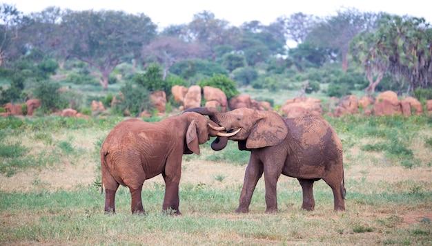 Sommige grote rode olifanten proberen met de stammen met elkaar te vechten