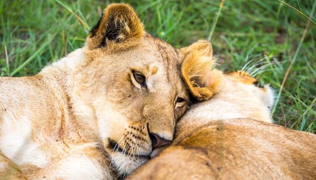Sommige jonge leeuwen knuffelen en spelen met elkaar