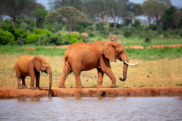 Sommige olifanten staan op de drinkplaats in de savanne