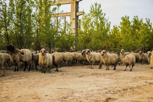 Sommige schapen kijken naar de camera
