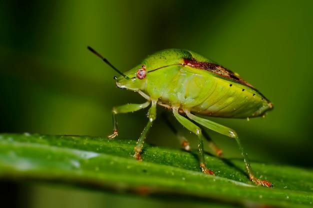 Southern green shieldbug, green stink bug nezara viridula close-up