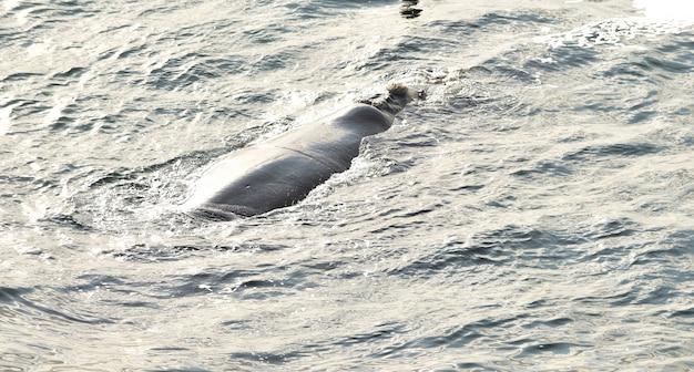 Southern right whale rustend op zee oppervlak, in hermanus, zuid-afrika