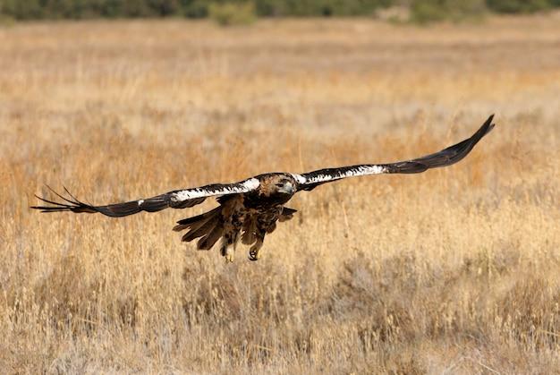 Spaanse keizerarend vijf jaar oud vrouwtje vliegen