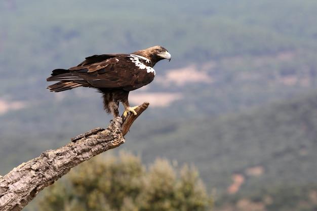 Spaanse keizerarend volwassen mannetje in een mediterraan bos op een winderige dag