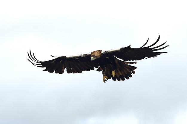 Spaanse keizerarend volwassen mannetje vliegen in een mediterraan bos op een bewolkte dag