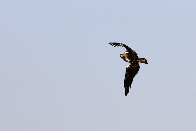 Spaanse keizerarend volwassen mannetje vliegend