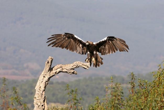Spaanse keizerarend volwassen vrouwtje vliegen in een mediterraan bos op een winderige dag vroeg in de ochtend