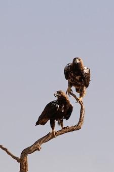 Spaanse keizerlijke adelaars