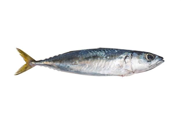 Spaanse makreel
