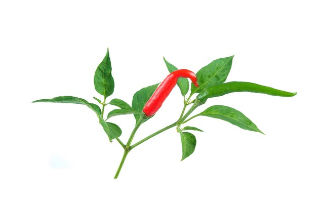 Spaanse peper die op witte achtergrond wordt geïsoleerd
