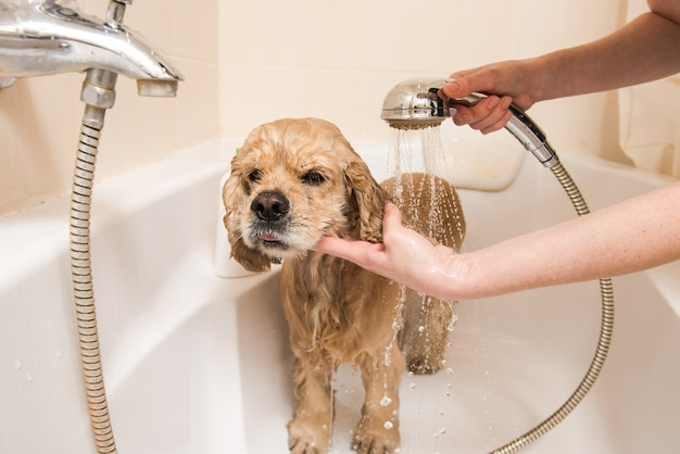 Spaniel gaat douchen