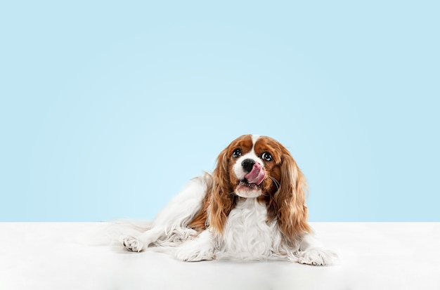 Spaniel puppy spelen in studio. het leuke hondje of het huisdier zit geïsoleerd op blauwe achtergrond. de cavalier king charles. negatieve ruimte om uw tekst of afbeelding in te voegen. concept van beweging, dierenrechten.