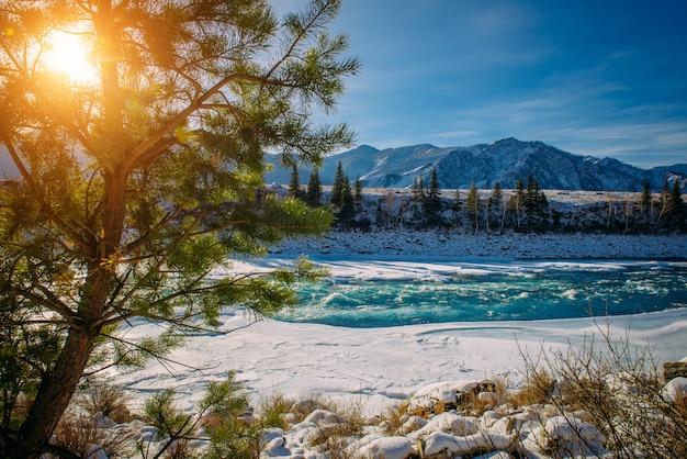 Spar groeit aan de oever van de bergrivier. nette tak op de achtergrond van met sneeuw bedekte bergen in het zonlicht, close-up. prachtige winterlandschap in de bergen.