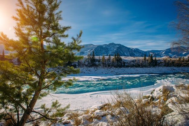 Spar groeit aan de oever van de bergrivier. nette tak op met sneeuw bedekte bergen in het zonlicht, close-up. prachtige winterlandschap in de bergen
