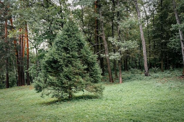 Spar in het naaldbos pluizige spar aan de rand van het bos in de zomer bij helder weer h...