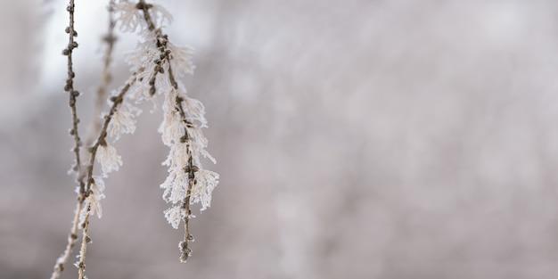 Spar met naalden bedekt rijm close-up natuurlijk landschap besneeuwde winter discrete achtergrond