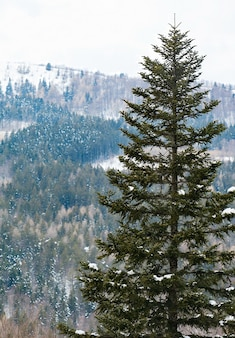 Sparren bedekt met sneeuw in het toeristenoord van abetone in italië.