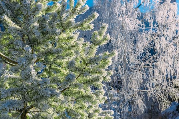 Sparren en berkenbomen die met vorst in de winterbos worden behandeld, close-up. sneeuw ligt op de takken van bomen en glinstert in de zon op een winterdag.