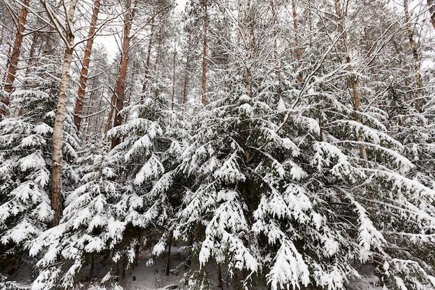 Sparren en dennen in het winterseizoen, winterweer in het park of bos en dennensparren, ijzige winter na sneeuwval met lange dennen of sparren