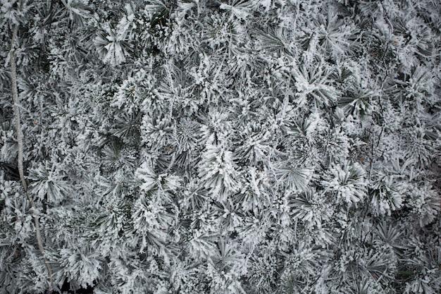 Sparren in de sneeuw. pijnboom.