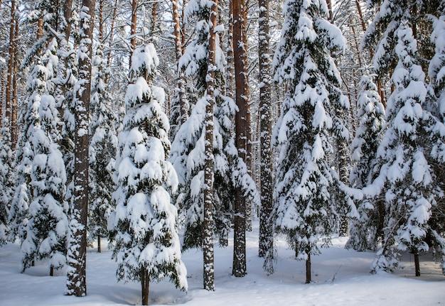 Sparrenbos bedekt met verse sneeuw tijdens de winterkerstmis op een zonnige ijzige dag