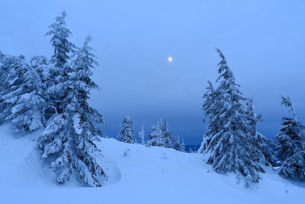 Sparrenbos in de winter. landschap met maanlicht in de schemering. karpaten, oekraïne, europa