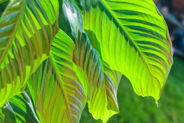 Spathiphyllum, groen blad. een structuur met een sappige kleur, het blad wordt van onderaf geaccentueerd.
