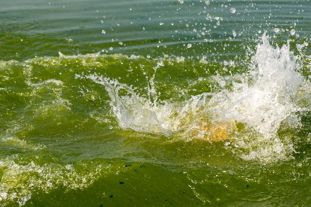 Spatten van groene wateralgen bloeien