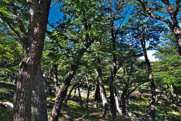 Specht in het bos in fitz roy, patagonië, argentinië