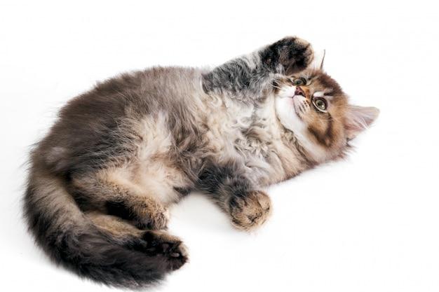 Speels grijs katje dat op wit wordt geïsoleerd.