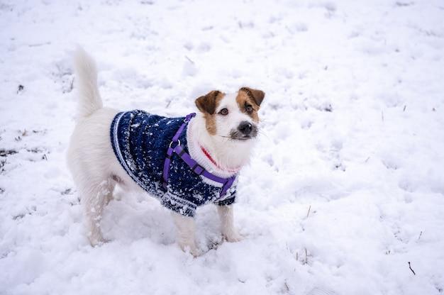 Speelse jack russell terriër gekleed in blauwe trui op koude besneeuwde winterdag