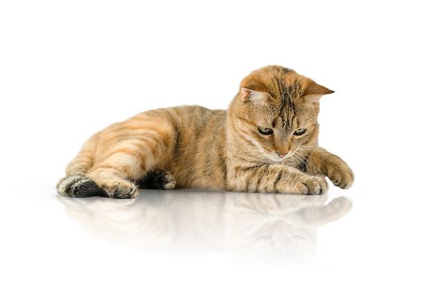 Speelse kat geïsoleerd op een witte achtergrond