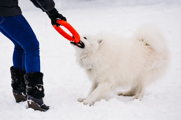Speelse samojeed hond in de winter