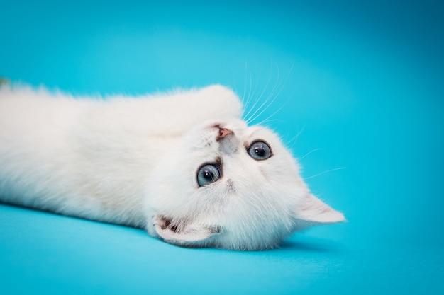 Speelse witte kitten op een blauwe achtergrond.