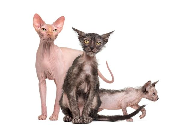 Sphynx-kat met twee lykoi-kittens