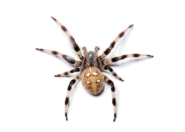 Spin die op wit wordt geïsoleerd