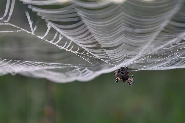 Spin hangt aan een web in het bos