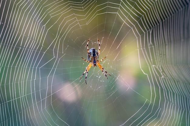 Spin in het web vroeg in de ochtend bij dageraad in de mist
