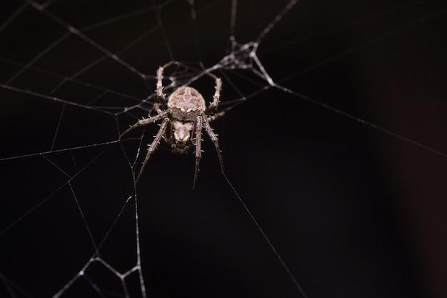 Spin klimt op het web.