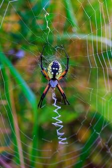 Spin tuin-spin araneus type spin araneomorphae uit de spinnenfamilie